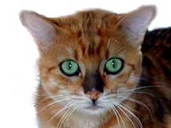 feline diabetic neuropathy