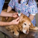 Canine diabetes diet