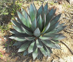 Is Agave Nectar Safe For Diabetics?